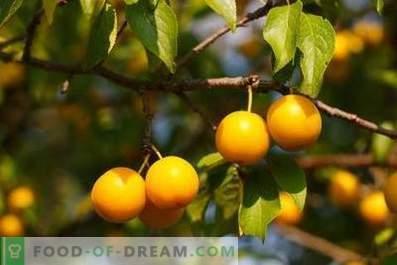 Vin de prune de cires