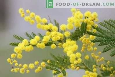 Cum să păstrați mimoza pufos într-o vază